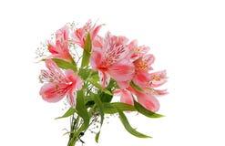 Alstroemeria rosa Fotografia Stock Libera da Diritti