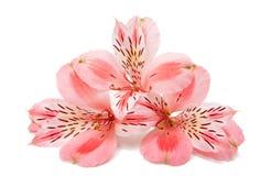 Alstroemeria rosa Fotografie Stock
