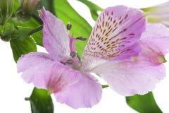 Alstroemeria rosa del fiore Immagini Stock