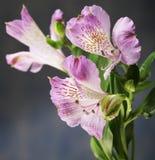 Alstroemeria rosa del fiore Fotografie Stock