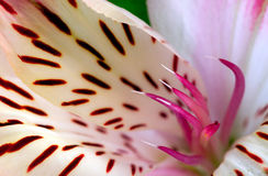 Alstroemeria rosa del fiore Immagine Stock Libera da Diritti