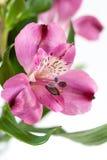 Alstroemeria Fotografia Stock Libera da Diritti