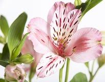 Alstroemeria rosa, macro Immagini Stock