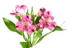 Alstroemeria dei fiori di P!nk Fotografie Stock