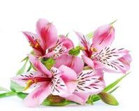 Alstroemeria rosa su un fondo bianco Immagine Stock
