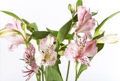 Alstroemeria rosa sui precedenti bianchi Immagini Stock