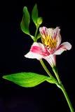 Alstroemeria rosado de la flor en un fondo negro Foto de archivo