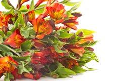 Alstroemeria rosso Immagine Stock