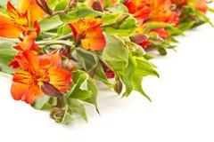 Alstroemeria rosso Fotografia Stock Libera da Diritti