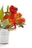 Alstroemeria rosso Fotografia Stock