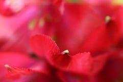 Alstroemeria rosso del fiore Immagini Stock Libere da Diritti