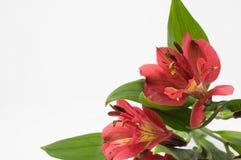 Alstroemeria rosso su un fondo bianco Fotografia Stock