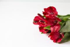 Alstroemeria rosso su un fondo bianco immagine stock