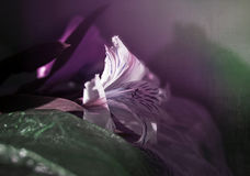 Alstroemeria, segni della molla Immagini Stock Libere da Diritti