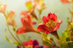 Alstroemeria. Several beautiful flowers alstroemeria spring warm day royalty free stock photos