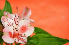 Alstroemeria su fondo arancio Fotografia Stock