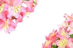 Alstroemeria in un fondo bianco Fotografia Stock