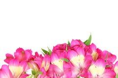 Alstroemeria in un fondo bianco Fotografie Stock