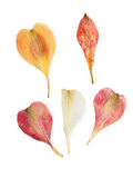 Alstroemeria urgente e secco dei petali del fiore, isolato su bianco Fotografia Stock Libera da Diritti