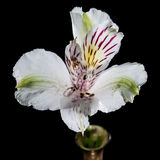 Alstroemeria In Vase Stock Photos