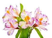 Alstroemeria viola - giglio Fotografia Stock Libera da Diritti