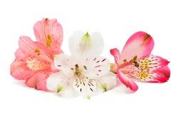 Alstroemeria Royalty Free Stock Photo