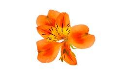 Alstroemeria Royalty Free Stock Photos