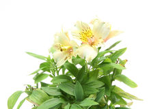 Alstroemeria in a white background Stock Image