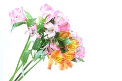 Alstroemeria in a white background Stock Photos