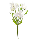 Alstroemeria. White Alstroemeria isolated on white background. Focus on central flower stock images