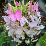 Alstroemeriaceae stockfoto