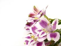 Alstroemerias bianchi e viola Immagine Stock Libera da Diritti