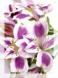 Alstroemerias bianchi e viola Immagini Stock Libere da Diritti