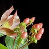 Alstroemeriavierkant van Hypericum stock foto's