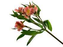 Alstromeria Stock Photos
