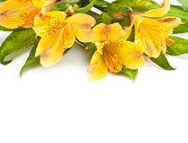 Alstromeria. Royalty Free Stock Photos