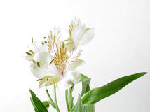 Alstromeria. A.k.a. Peruvian Lilies, isolated on a white background Royalty Free Stock Image