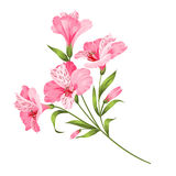 Alstromeria branch isolated on white Royalty Free Stock Photography