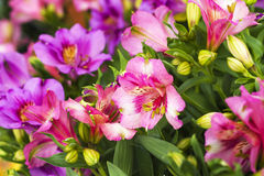 Alstromeria Royalty Free Stock Photography
