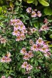 Alstromeria di fioritura in un giardino Fotografie Stock