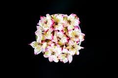 Alstromeria fiorisce in una ciotola di vetro isolata sul nero Fotografia Stock Libera da Diritti