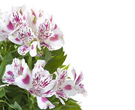Alstromeria flower. Alstromeriya bouquet on a white background whith a place for the text Stock Image