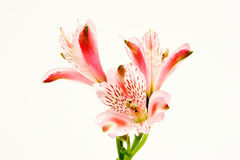 Alstromeria Lilie getrennter weißer Hintergrund. Lizenzfreies Stockbild