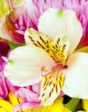 Alstromeria oder peruanische Lilie Lizenzfreies Stockbild