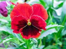 Altówek tricolor czerwoni błękitni żółci Pansies na zielonego flowerbed makro- zbliżeniu Zdjęcie Stock