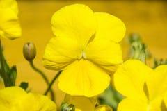 Altówki Pansy żółty kwiat na naturze Fotografia Royalty Free