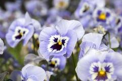 Altówki wittrockiana ogródu pansy w kwiacie Zdjęcia Stock