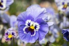 Altówki wittrockiana ogródu pansy w kwiacie Obrazy Royalty Free