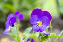 Altówki wittrockiana ogródu pansy w kwiacie Obrazy Stock