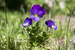 Altówki wittrockiana ogródu pansy w kwiacie Obraz Stock